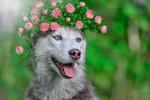 Обои Хаски в венке из цветов, Яропольская Мария