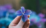 Обои В руке человека синий цветок, by Janine Meuche