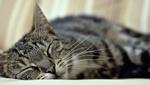 Обои Спящая серая кошка