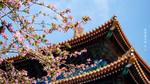 Обои Цветущая весенняя ветка сакуры на фоне пагоды