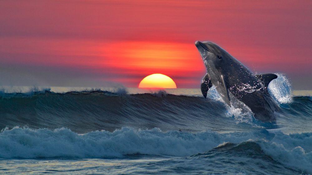 Обои для рабочего стола Дельфин прыгает над волной на фоне заката солнца