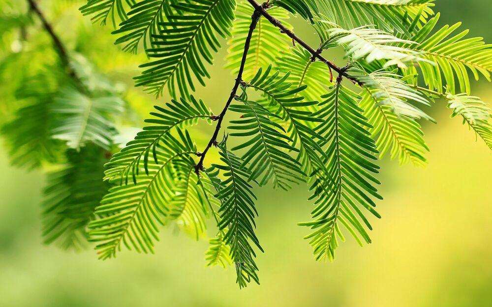 Обои для рабочего стола Метасеквойя - хвойное дерево семейства кипарисовые