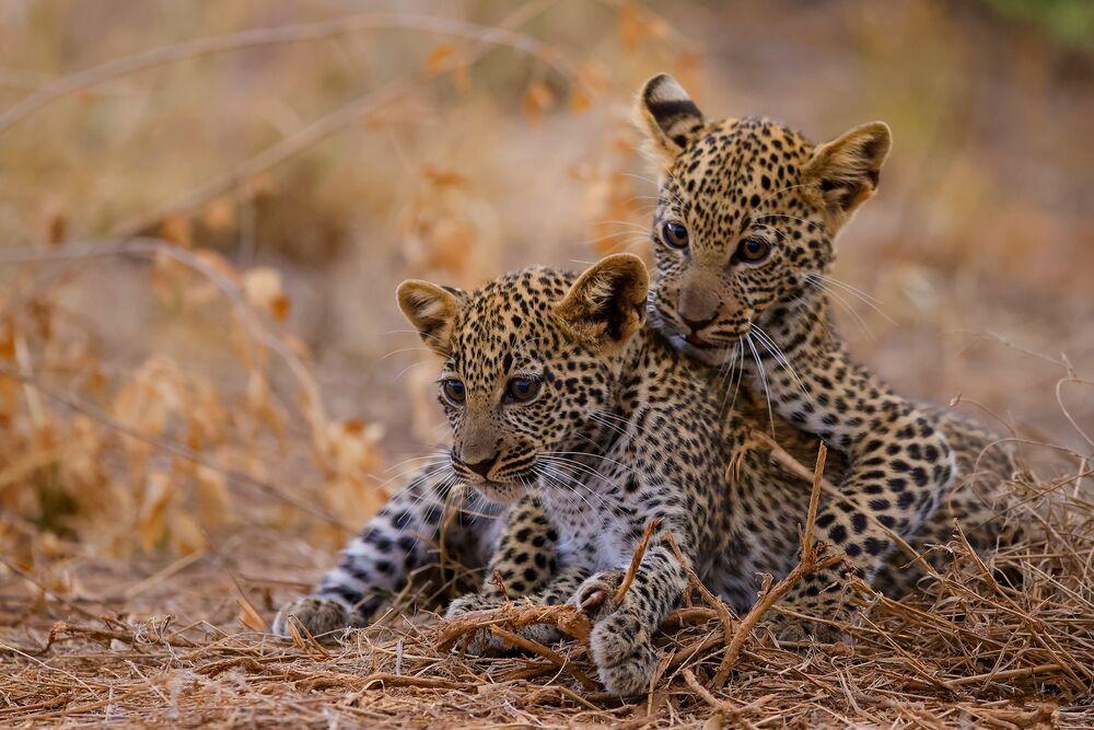 Обои для рабочего стола Два маленьких леопарда сидят в сухой траве