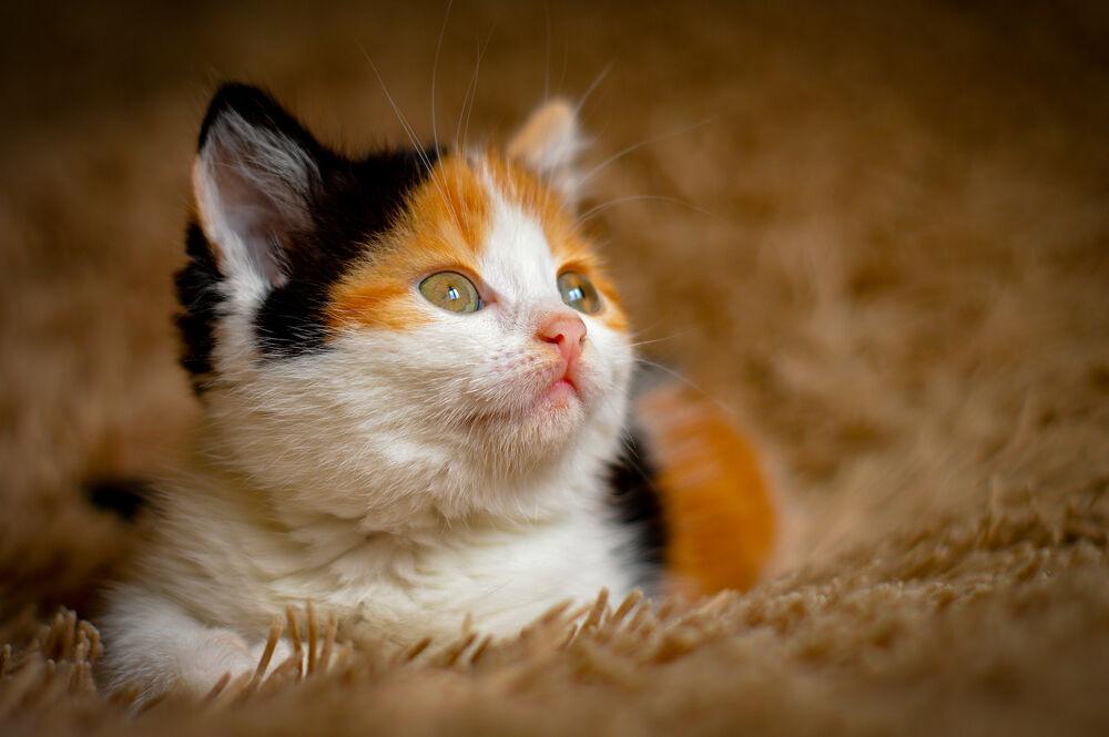 Обои для рабочего стола Трехцветный котенок, фотограф Denis Kuznetsov