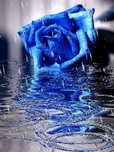 Фото Синяя роза мокнет в луже под дождём...