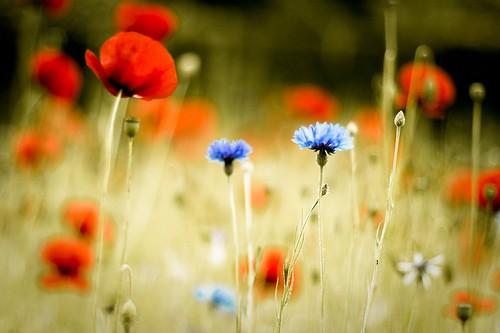 Фото синие и красные цветы