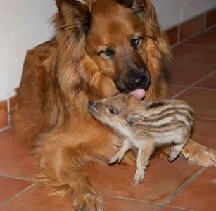 Фото Собака  и свинка