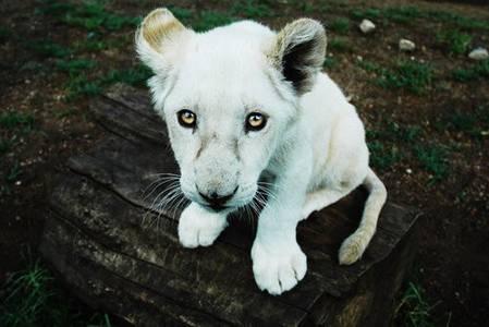 Фото Белый лев (© Юки-тян), добавлено: 16.09.2010 18:41