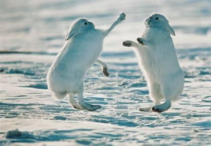 Фото Драка белых кроликов (© Штушка), добавлено: 20.09.2010 21:09