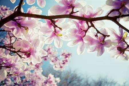 Фото Цветущее дерево (© Юки-тян), добавлено: 16.10.2010 07:31