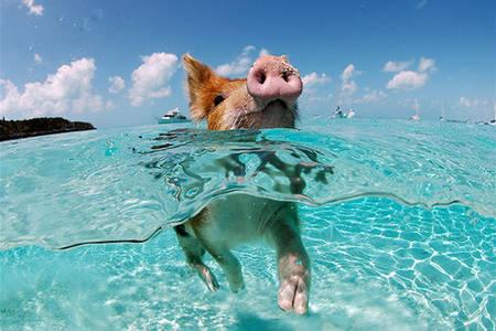 Фото свинья плавает (© Louise Leydner), добавлено: 29.10.2010 15:38