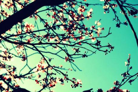 Фото Цветущее дерево (© Юки-тян), добавлено: 03.11.2010 12:54