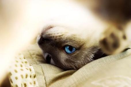 Фото Голубоглазая кошка