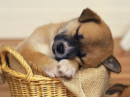 Фото Щенок заснул в корзинке (© Юки-тян), добавлено: 05.11.2010 15:13