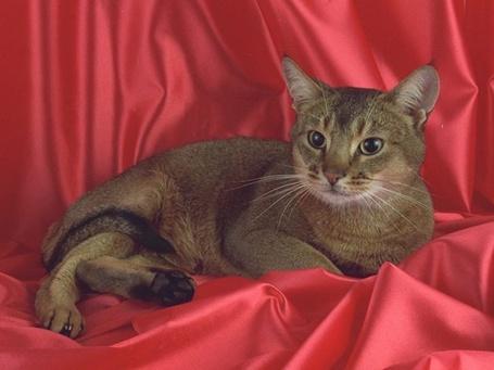 Фото Кошка сидит на красной ткани (© Юки-тян), добавлено: 08.11.2010 17:15
