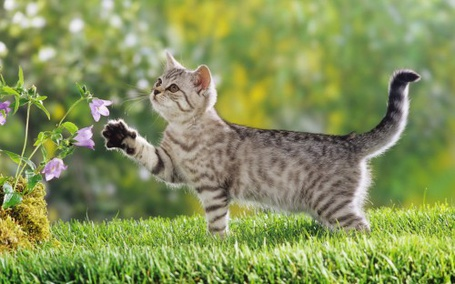 Фото Котёнок играет с цветком (© Юки-тян), добавлено: 08.11.2010 17:42