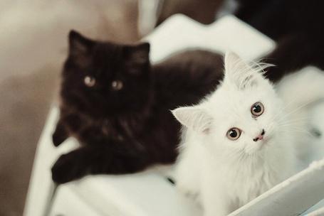 Фото Белый и чёрный котята (© Юки-тян), добавлено: 16.11.2010 14:17