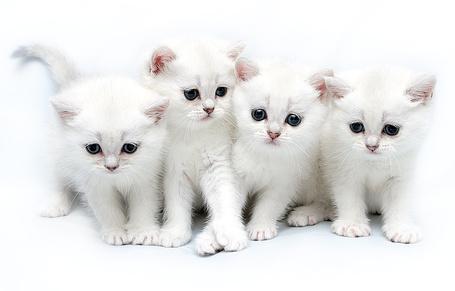 Фото Котята беляшки (© Anatol), добавлено: 27.11.2010 22:13