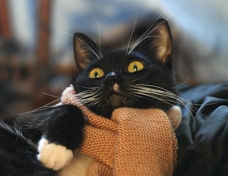 Фото Кошка с белыми лапками и шарфом (© Штушка), добавлено: 04.12.2010 20:36