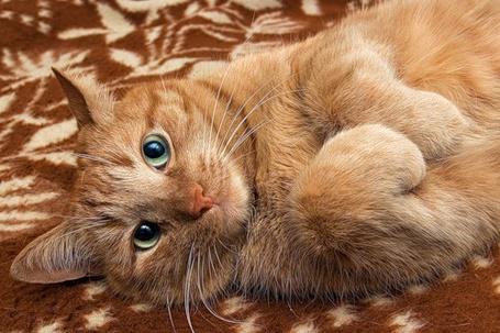 Фото Милый ражий кот на ковре (© Штушка), добавлено: 04.12.2010 20:46
