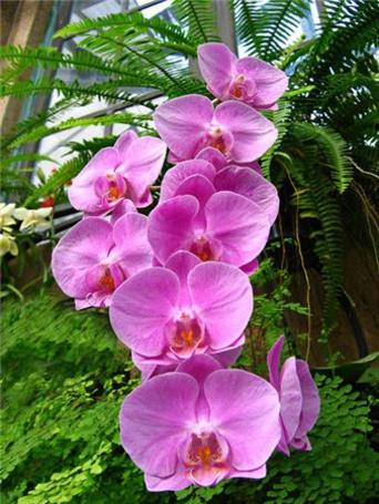 Фото Розовые орхидеи (© Штушка), добавлено: 10.12.2010 23:59