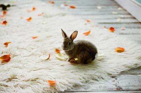 Фото Кролик на ковре в лепестках (© Штушка), добавлено: 28.12.2010 20:19
