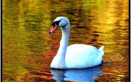 Фото Лебедь (© Штушка), добавлено: 29.12.2010 22:12