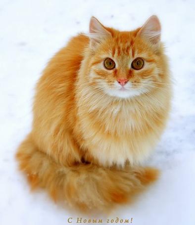 Фото Рыжий кот (С Новым годом!) (© Штушка), добавлено: 03.01.2011 00:46