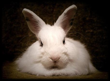Фото Белый кролик (© Штушка), добавлено: 07.01.2011 16:00