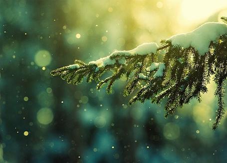 Фото Ёлка в снегу (© Electraa), добавлено: 12.01.2011 16:13