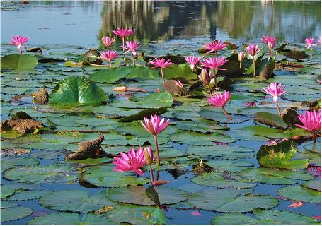 Фото Водяные лилии (© Штушка), добавлено: 14.01.2011 01:29