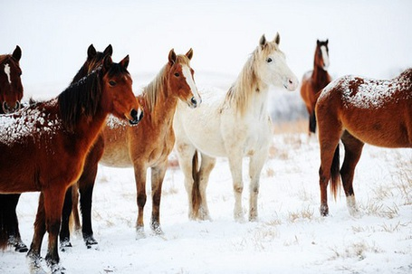 Фото табун лошадей (© Штушка), добавлено: 23.01.2011 15:49
