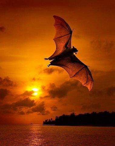 Фото полёт летучей мыши
