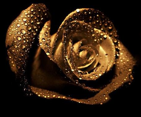 Фото золотая роза на черном фоне