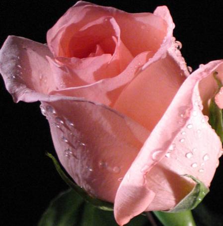 Фото Розовая роза на черном фоне (© Штушка), добавлено: 13.02.2011 16:53