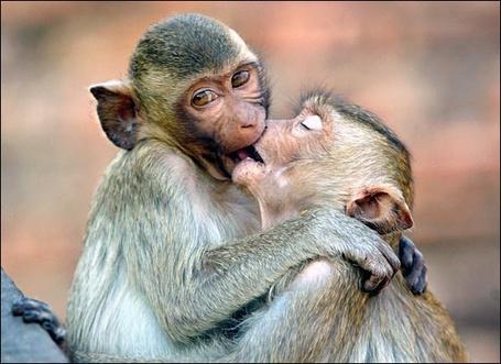 Фото Поцелуй обезьянок