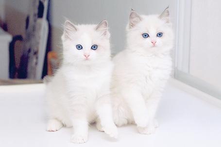 Фото Голубоглазые котята (© Electraa), добавлено: 18.02.2011 08:04