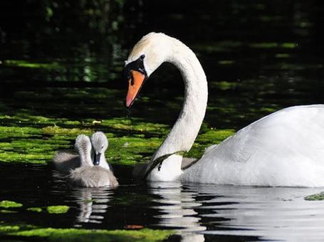 Фото Мама лебедь и малыши (© Штушка), добавлено: 18.02.2011 17:06