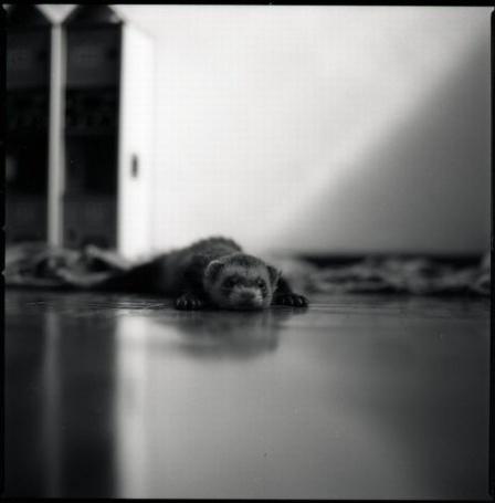 Фото Хорёк лежит на полу (© Штушка), добавлено: 21.02.2011 22:43