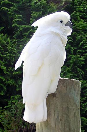 Фото Красивая птичка - белый Какаду... (© Volkodavsha), добавлено: 27.02.2011 17:13