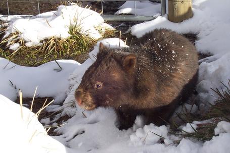 Фото Вомбаты — роющие норы травоядные животные, внешне напоминающие маленьких медведей.
