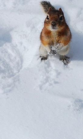 Фото Белочка на снегу (© Штушка), добавлено: 05.02.2011 13:24