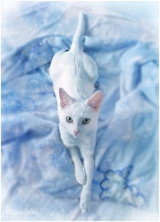 Фото Красивый белый кот лежит на голубом покрывале (© Штушка), добавлено: 07.02.2011 23:15