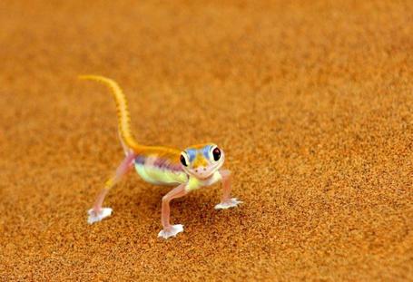 Фото Желтая ящерка на ровном песке (© Radieschen), добавлено: 08.02.2011 11:22