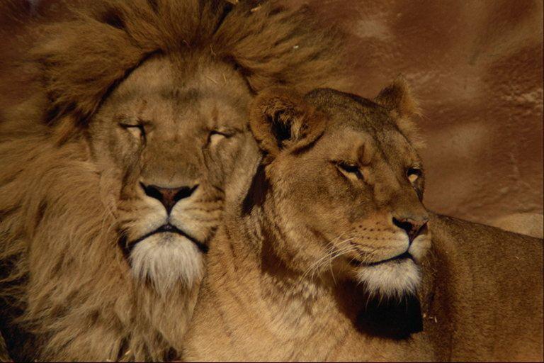 Фото Львы. Царственная пара.