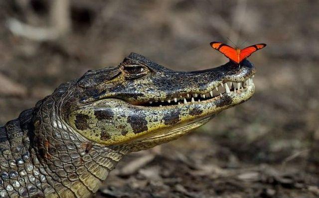 Фото крокодил и красная бабочка