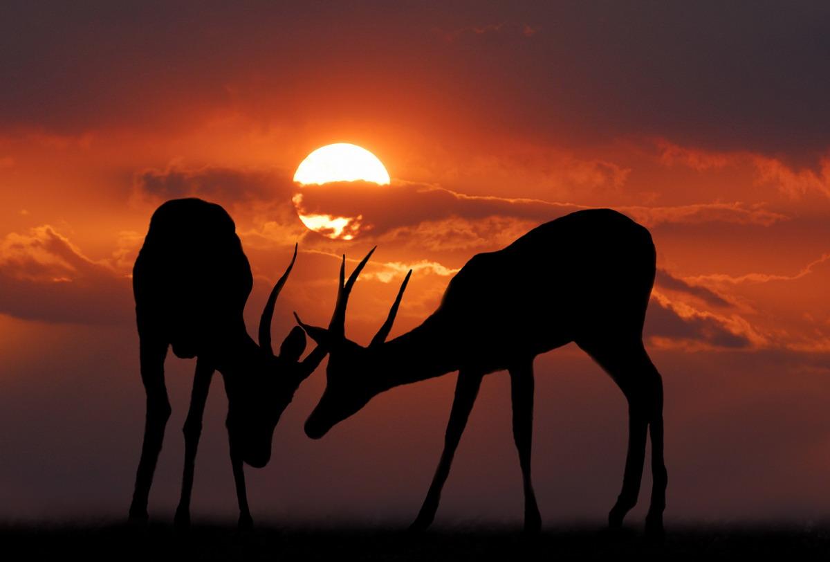 Фото Косули на фоне заката