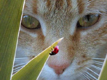 Фото Кот наблюдает за божьей коровкой,ползущей по листочку...