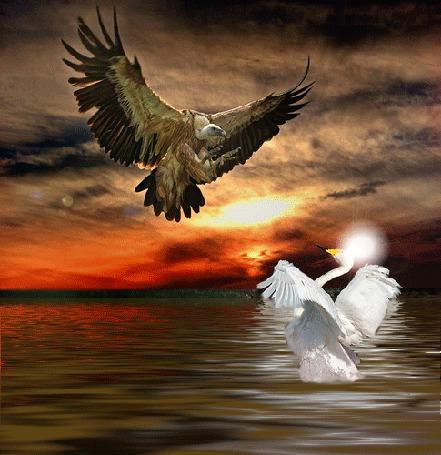 Фото Орёл нападает на царицу-лебедь...