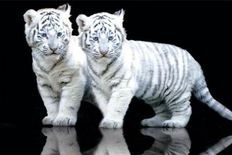 Фото Пара белых тигрят...